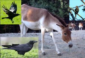 Le corbeau et le rossignol